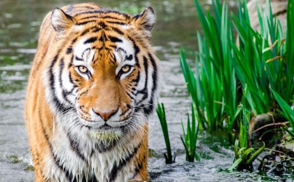 Вже понад три тисячі «тигрових вдів»: в Індії тигри вбивають чоловіків