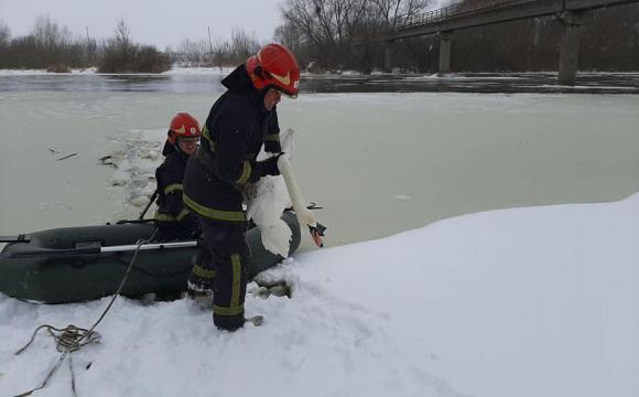 У Львівській області працівники ДСНС врятували зграю лебедів, яка примерзла до льоду