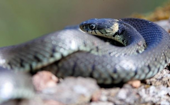 Змії атакують Рівненщину: госпіталізували 12-річного хлопчика