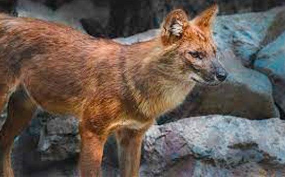Китайські червоні вовки тепер у Луцьку