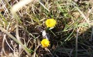 На Волині зацвіли перші весняні квіти. ФОТО