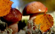 «Земля прогріта»: чи будуть ще гриби у Волинських лісах